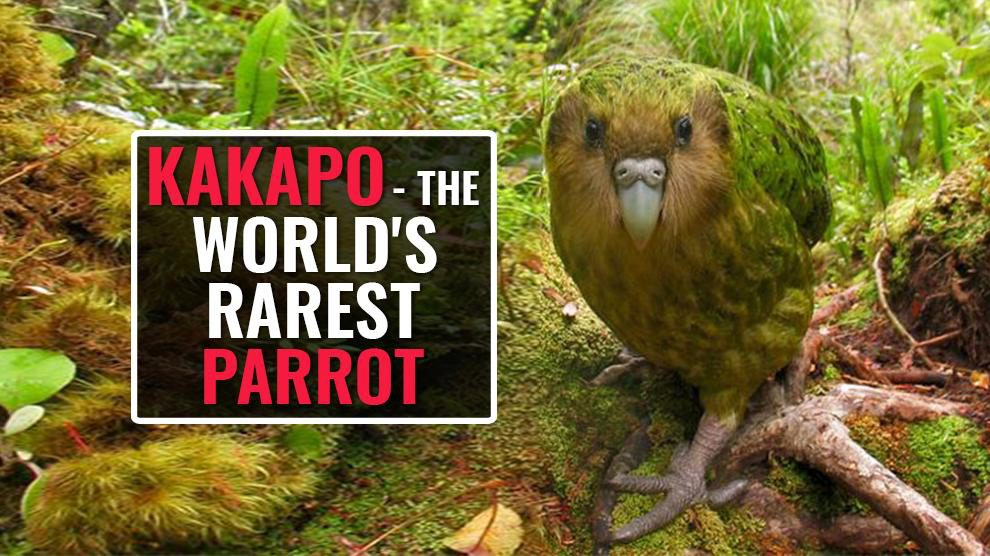 The Kakapo – A Rare Flightless Parrot On The Verge Of Extinction