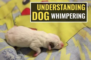 Understanding Dog Whimpering