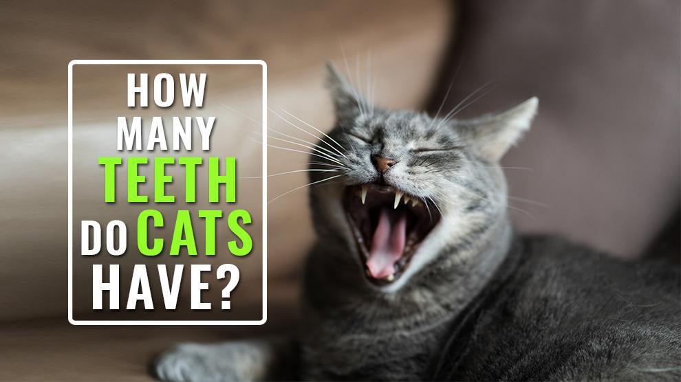How Many Teeth Do Cats Have?