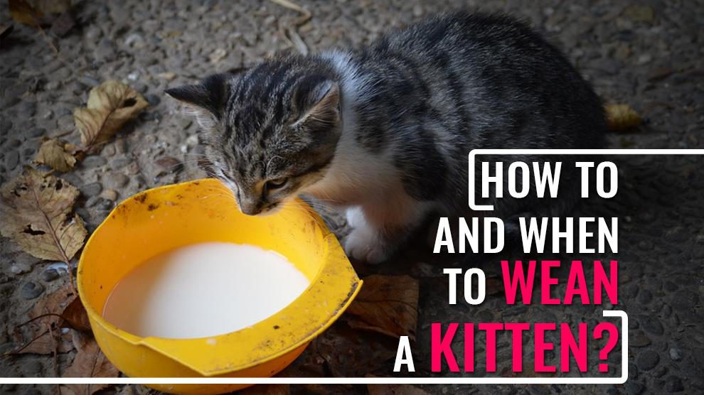 How To Wean A Kitten?