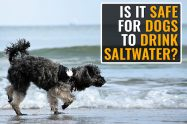 Can Dogs Drink Salt Water?