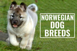 Norwegian Dog Breeds