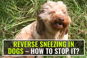 Reverse Sneezing In Dogs