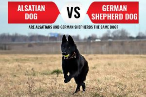 Alsatian Dog Vs. German Shepherd Dogs