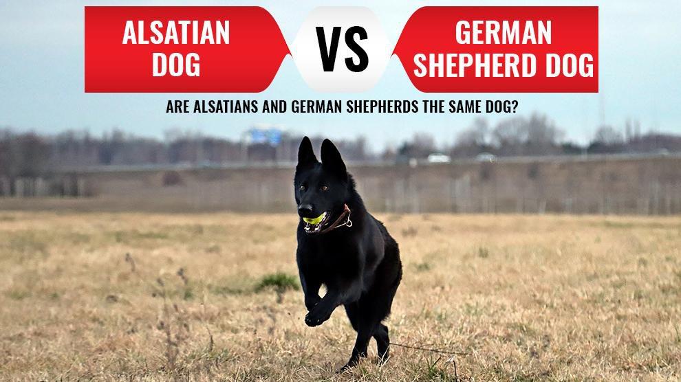 Alsatian Dog Vs. German Shepherd Dogs