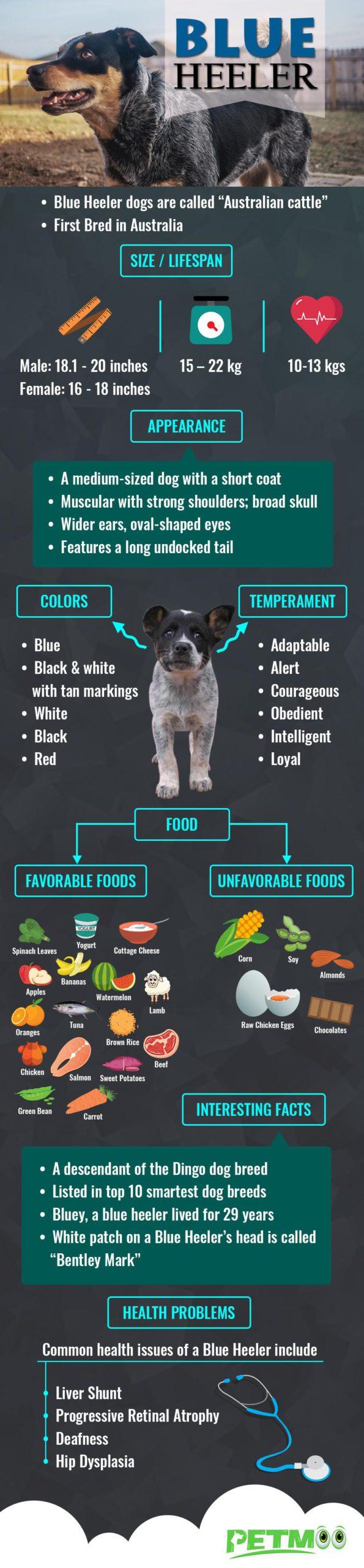 Blue Heeler Infographic