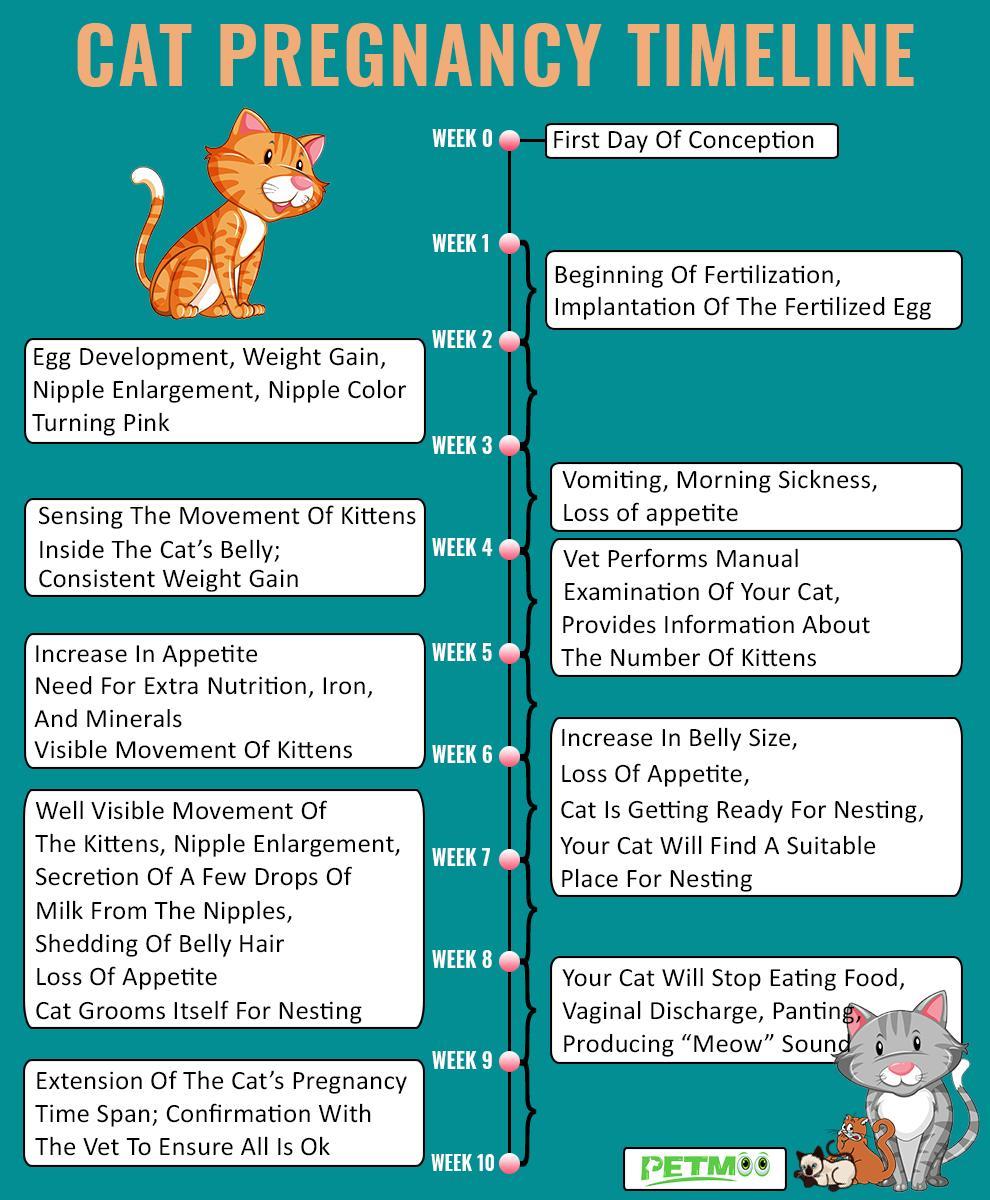 Cat Pregnancy Timelines