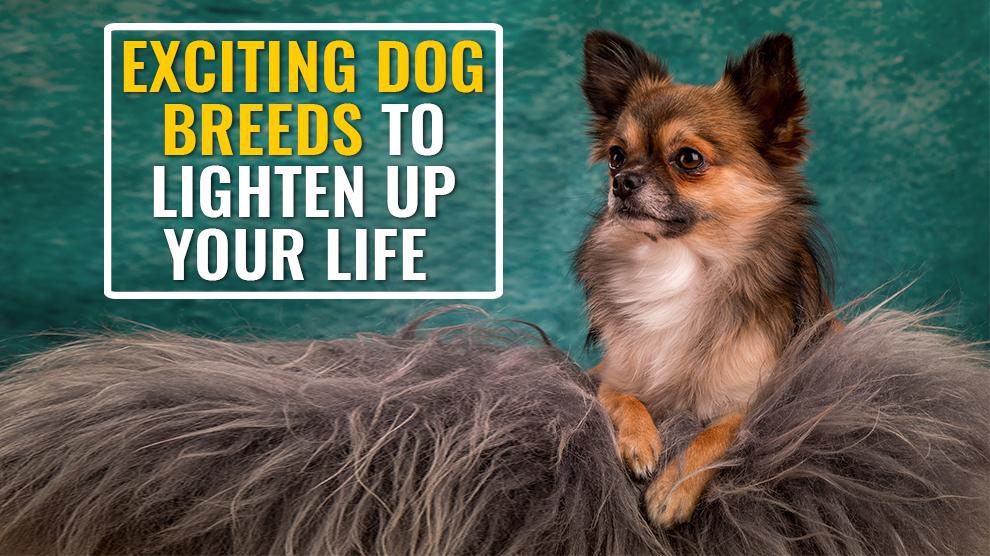 Dog Breeds To Lighten Up Your Life