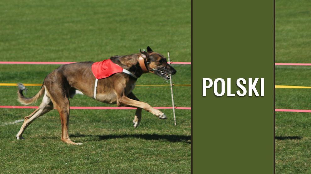 Chart Polski - Polish Greyhound