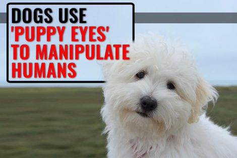 Puppy Eyes Are True And Your Dog Uses It To Manipulate You