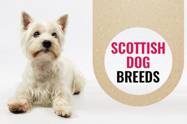 Scottish Dog Breeds