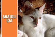 Anatoli Cat