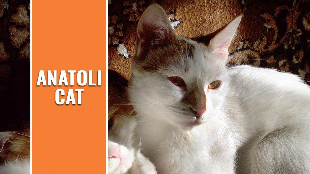 Anatoli Cat