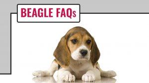 Beagle FAQs