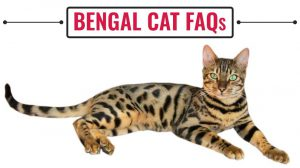 Bengal Cat FAQs