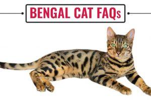 Bengal Cat FAQs