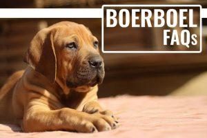 Boerboel FAQs