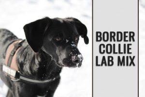 Border Collie Lab Mix