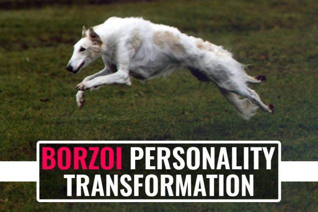 Borzoi Personality Transformation