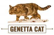 Genetta Cat