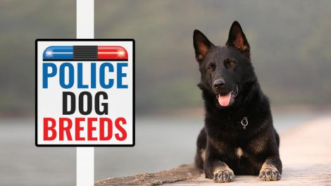 Police Dog Breeds