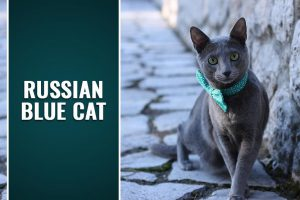 Russian Blue Cat