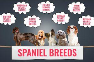 Spaniel Breeds