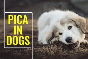 Pica In Dogs