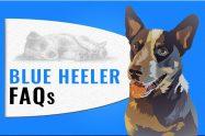 Blue Heeler FAQs