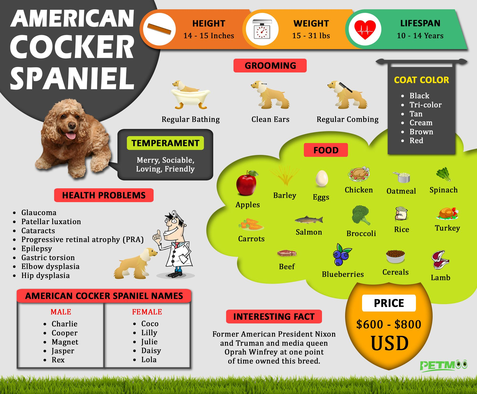 American Cocker Spaniel Infographic