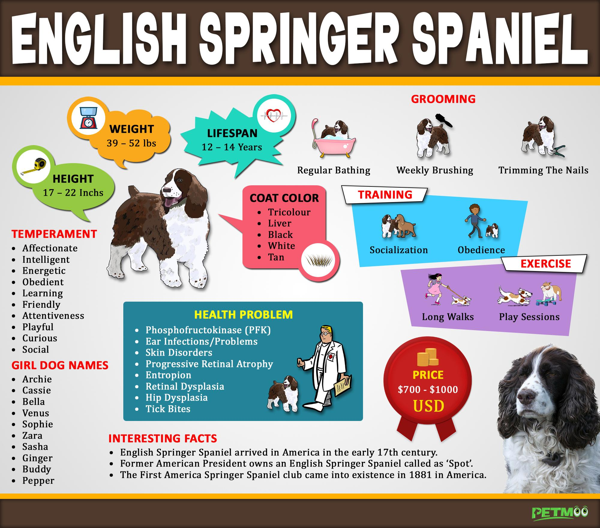 English Springer Spaniel Infographic