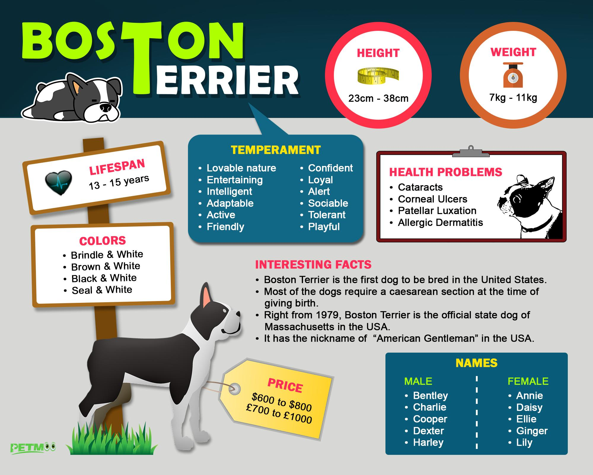 Boston Terrier Infographic
