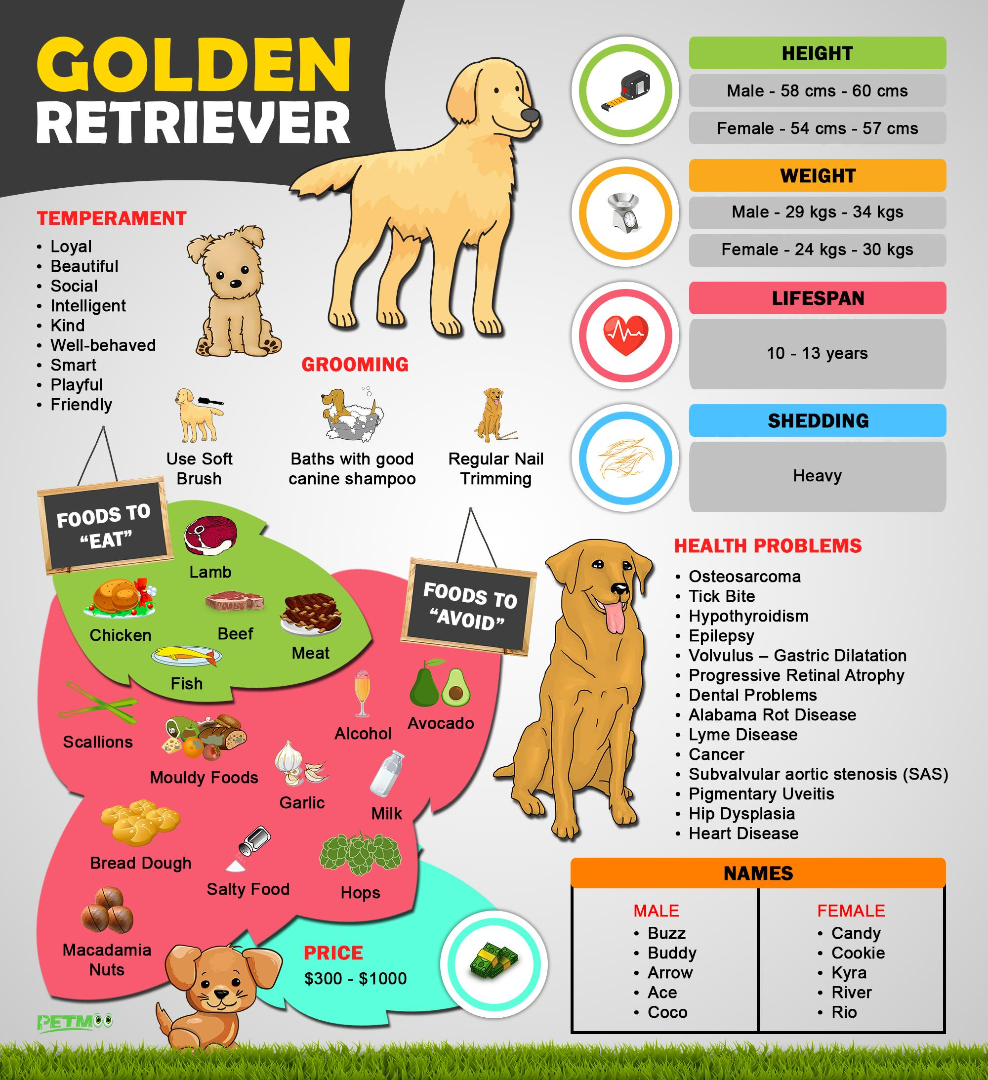 Golden Retriever Puppies Must Know Facts And Traits Petmoo