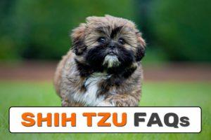 Shih Tzu FAQs