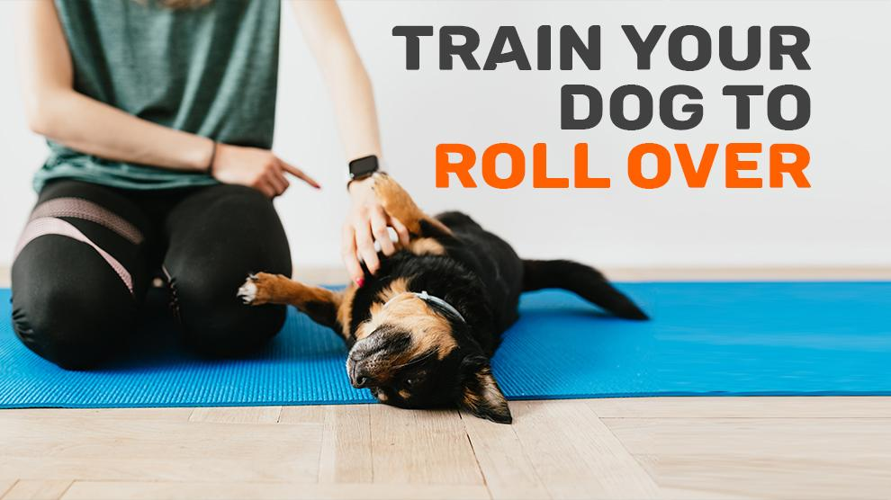 Train Your Dog To Roll Over Following These Steps