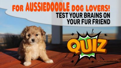 Aussiedoodle Dog Quiz