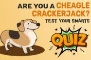 Cheagle Quiz