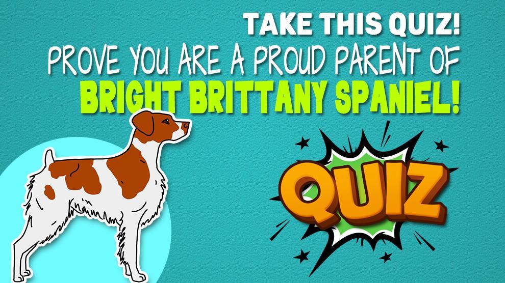Brittany Spaniel Quiz