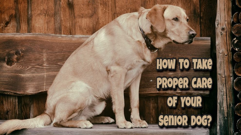 How To Take Care of Senior Dogs