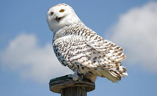hedwig-best-exotic-pets