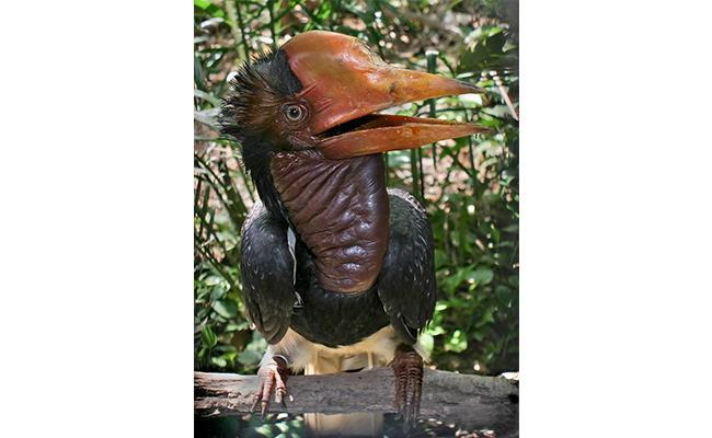 helmeted-hornbill