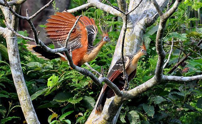 hoatzins-birds