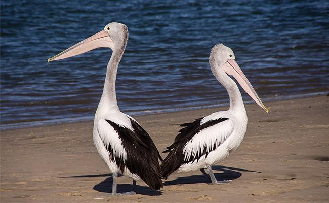 pelicans-birds-that-remind-us-of-their-dinosaur-past