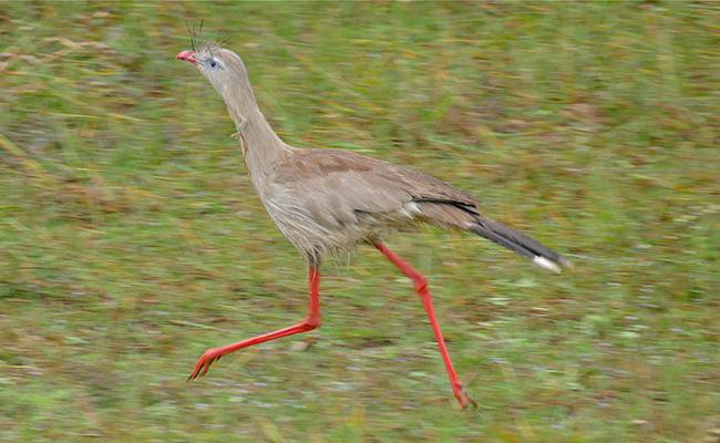 red-legged-seriema