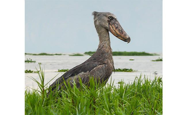 shoebills-birds-that-remind-us-of-their-dinosaur-past