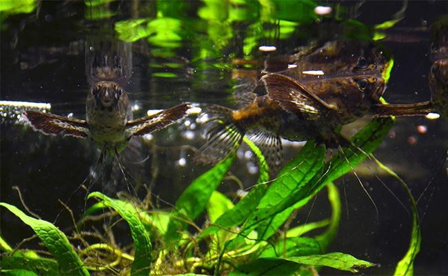 african-butterflyfish