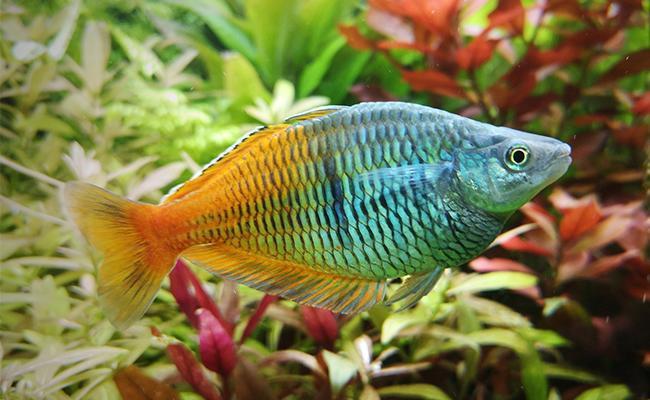 boesemani-rainbowfish