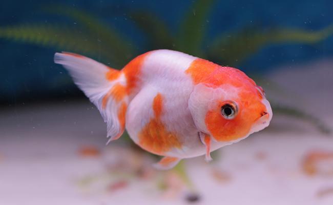 izumo-nankin-goldfish