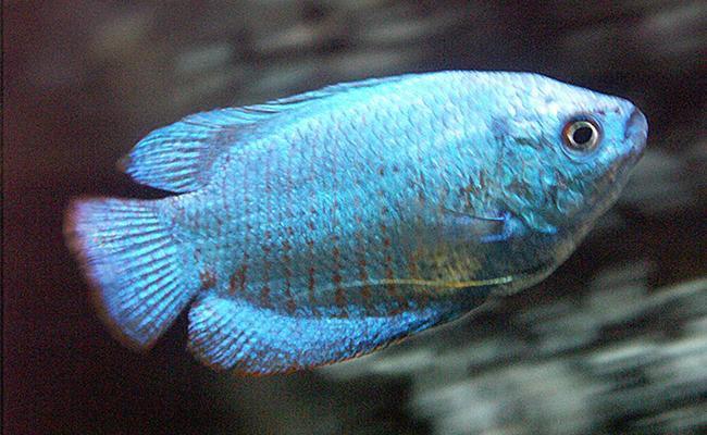 powder-blue-gourami