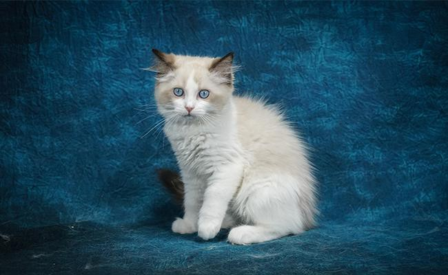 the-largest-cat-breed-is-the-ragdoll-cat
